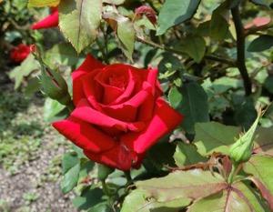 rose osaka.jpg